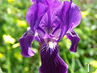 Flor morada by ToniTeror