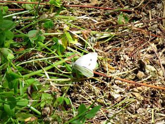 Mariposa blanca en el suelo by ToniTeror