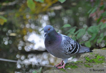 Pigeon by Renatee