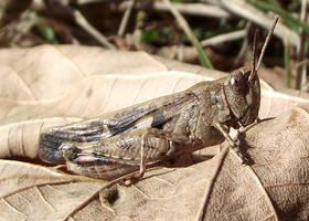 Grasshopper by Alexandru-MM