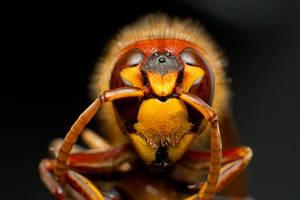 Hornet by mprox