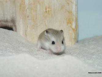 Little baby roborovskii by roborovskii