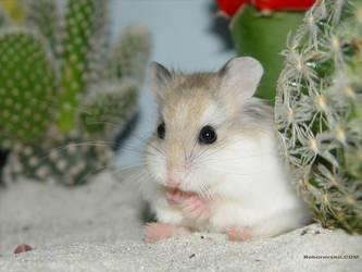 Desert Hamster by roborovskii