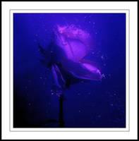 Rose of Atlantis by aquapell