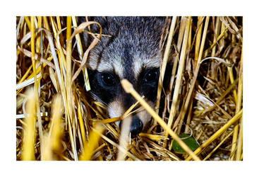 Raccoon 1.2 by aquapell