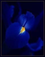 Iris In Flight by aquapell