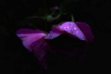 Purple Rose by aquapell