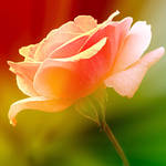 roses for love by SvitakovaEva