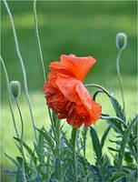 red weed by SvitakovaEva