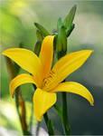yellow lily by SvitakovaEva