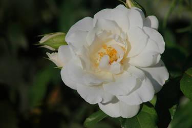 rose - 3 by SvitakovaEva