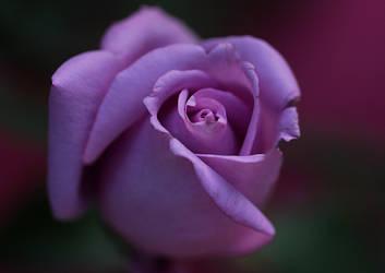 rose by SvitakovaEva