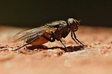 annoying fly by SvitakovaEva