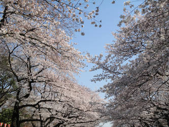 Cherry Blossoms in Ueno Park by KXSakuraba