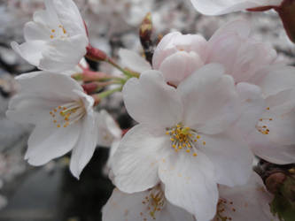 Closeup Cherry Blossom 2 by KXSakuraba