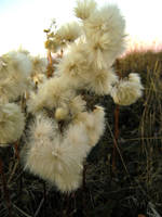 Tundra cotton 2 by Arctic-Stock
