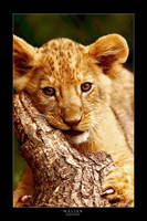 Lion Cub I by jay-peg