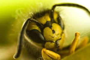 German wasp 3 by Moepling