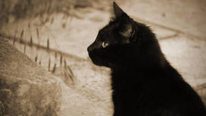 Black cat by Oberon7up