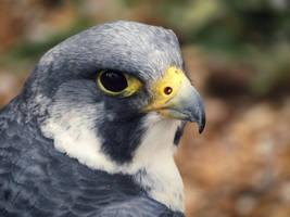 Peregrine Falcon by ColdEdge
