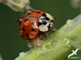 Ladybug in the rain by albatros1