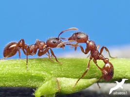 Ants in conversation by albatros1