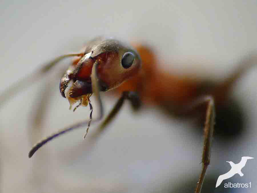 Ant by albatros1