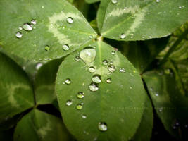 Drops on a Clover by ObscureLilium