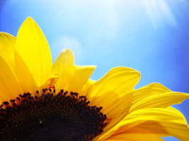 Sunflower II by EndlessFighter