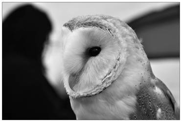 Barn Owl by Dr-Koesters