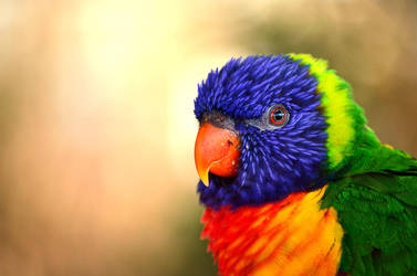 Rainbow Lorikeet by Choccylover