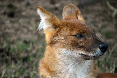 Dhole by Choccylover