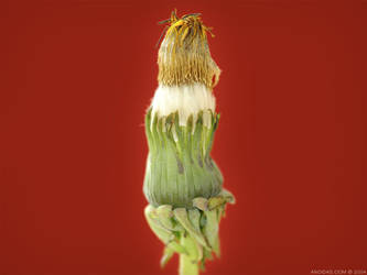 Dandelion - Sleeping by andidas