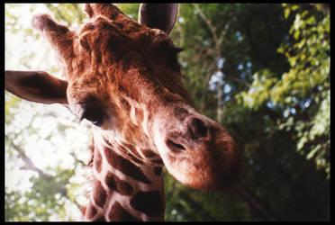 Giraffe Head by sapphiretiger-stock
